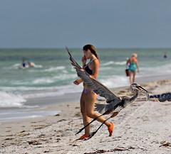 Indian Rocks Beach (BruceLorenz) Tags: water gulf gulfofmexico birds shore indian rocks beach florida great blue heron inflight flight catfish fishing girl man looking bikini