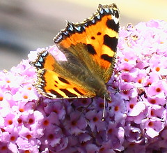 Small Tortoiseshell butterfly on a Buddleia Bush (jdathebowler Thanks for 4.5 Million + views.) Tags: nature butterfly greatphotographers naturescall smalltortoiseshellbutterfly fantasticnature