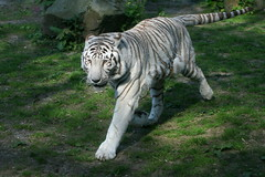 White Bengal Tiger On The Prowl (Ger Bosma) Tags: white asian real wit whitetiger witte weiser weise bengaltiger weis knigstiger tigredebengala pantheratigristigris bengaalsetijger royaltiger tigredelbengala tigredubengale tigreindio indischertiger koningstijger 2mg103661