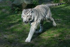 White Bengal Tiger On The Prowl (Ger Bosma) Tags: white asian real wit whitetiger witte weiser weise bengaltiger weis königstiger tigredebengala pantheratigristigris bengaalsetijger royaltiger tigredelbengala tigredubengale tigreindio indischertiger koningstijger 2mg103661