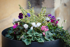 Germany: Regensburg / Bavaria (tisha_razumovsky) Tags: world street old autumn urban plant flower heritage history classic germany outdoors bavaria town site warm europe walk pansy violet sunny medieval september unesco journey historical typical regensburg cyclamen exciting