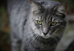 hunter (Soggy6) Tags: cat gravy greeneyes greytabby 1dmkiin 100mm28macro canonef100f28macro