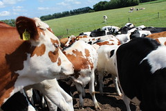 Cows Cows Cows (excellentzebu1050) Tags: animals closeup cow cattle outdoor farm animalportraits heifer dairycows oudside shootjuly2015heifers