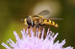 Hoverfly (Metasyrphus sp.) (-denju-) Tags: macro insect diy flash handheld makro insekt diffuser schwebfliege photomacrography raynoxdcr250 nikond90 tamron60mm meikemk300