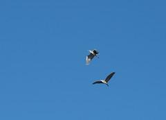 Gråhegre (RS_1978) Tags: birds animals norway tiere norge no wildlife norwegen aves animaux vögel vertebrates nordland vertebrata wildtiere wirbeltiere olympusem1 craniota schädeltiere
