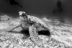 Turtle - Meeresschildkröte