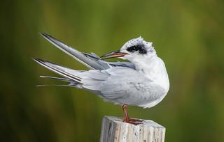 Forster's Tern (Sterna forsteri) (EXPLORE September 8, 2015) - Brigantine National Wildlife Refuge, NJ