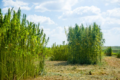 150828acp366mb086.jpg (ukagriculture) Tags: summer weather research hemp researchfarms spindletopfarm