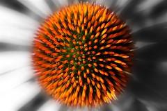 Echinacea (HerbertWagner) Tags: flower echinacea bloom rudbeckia blüte igelkopf medicalplant