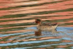 Teal. (stonefaction) Tags: park nature birds scotland riverside dundee teal wildlife explored
