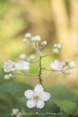 Blackberry flowers. (PvRFotografie) Tags: flowers plants plant flower holland nature vintage 50mm nederland natuur planten bloemen bloem vintagelens meyeroptik meyeroptikgrlitzoreston50mmf18 sonya900