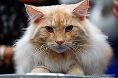 IMG_7633a_c (JANY FEDERICO GIOVANNINETTI) Tags: hairy cats cat hair eyes funny soft sweet expressions occhi international felini gatto gatti divertenti pelosi pelo dolci pedigree internazionale sguardi espressioni razza soffice soffici