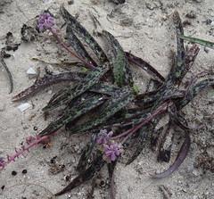 Ledebouria DSC04242 (tonrulkens) Tags: bulb mozambique pemba naturalhabitat ledebouria hyacinthaceae cabodelgado chuiba