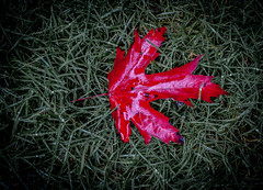 Saignée à blanc (maoby) Tags: macro nature canon rouge 50mm leaf blanc eos1d feuille saigner