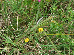 Bossiaea ensata 5 (barryaceae) Tags: park new plants wales bay south australia national heath species crowdy heathplants australianheathplants aushp