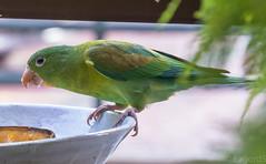 Perico. Orange-chinned Parakeet.Brotogeris jugularisIMG_4097-2 (lagord5 /) Tags: naturaleza verde bird animal libre pjaro visitantes perico