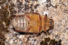 Anoxia (Anoxia) villosa (Fabricius, 1781) (Jess Tizn Taracido) Tags: coleoptera melolonthinae polyphaga scarabaeoidea melolonthidae melolonthini scarabaeiformia anoxiavillosa