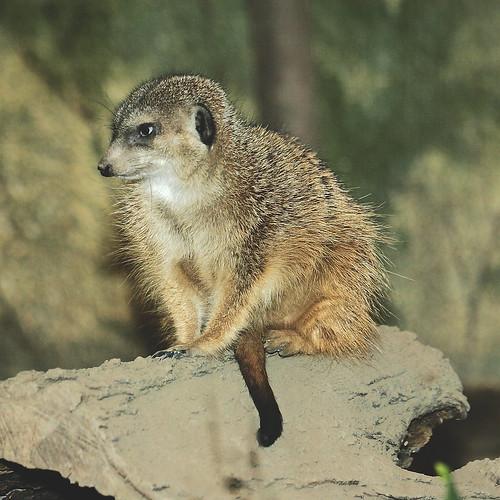 SQ Sitting Meerkat