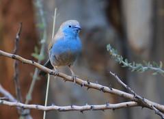 Southern Cordonbleu (Wild Chroma) Tags: birds namibia cordonbleu okonjima waxbill passerines uraeginthusangolensis angolensis uraeginthus