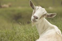 (Héctor (poGoSOLo) Duque) Tags: naturaleza white verde green nature animal outdoor goat hector blanca cabra caprino medellín airelibre mamífero crianza bóvido pogosolo héctorduque