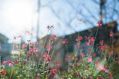 20151119-DS7_9745.jpg (d3_plus) Tags: street plant flower tree nature japan 50mm nikon scenery bokeh outdoor daily bloom  streetphoto nikkor     dailyphoto    50mmf14  thesedays againstthelight    50mmf14d  nikkor50mmf14    afnikkor50mmf14 d700 kanagawapref  nikond700 aiafnikkor50mmf14  nikonaiafnikkor50mmf14