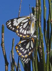 Caper White butterflies Anaphaeis java on citrus glauca P1090974 (Steve & Alison1) Tags: white butterfly java mating citrus caper collinsville glauca anaphaeis