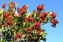 Heteromeles arbutifolia CHRISTMAS BERRY, TOYON (openspacer) Tags: berry shrub rosaceae heteromeles toyon jrbp jasperridgebiologicalpreserve