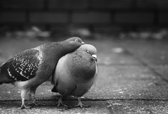 Love Me (Russ Barnes Photography) Tags: mono pigeons leicester thelunchclub russbarnes