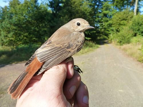 Gartenrotschwanz, Jungvogel (gefangen und beringt) , NGID1294393207