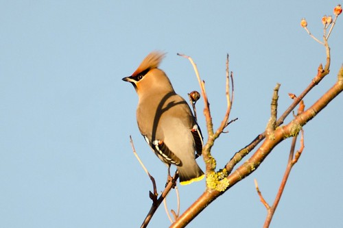 Waxwings in Banbury