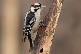 Dawny woodpecker: Dryobates pubescens