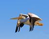 American White Pelican_12 (SamOphoto2011) Tags: canon california sandiego birds 14iiteleconverter santeelakes americanwhitepelican pelecanuserythrorhynchos 7dmarkii 100400lmarkii pelicans