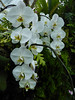 White Orchids (Steve Taylor (Photography)) Tags: orchid green white asia singapore plant flora flower leaves cloudforest gardensbythebay marinabay