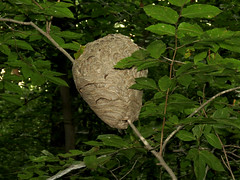Bald-faced Hornet Nest (treegrow) Tags: washingtondc rockcreekpark lifeonearth nature canonpowershotsx40hs arthropoda insect dolichovespulamaculata taxonomy:binomial=dolichovespulamaculata hymenoptera vespidae