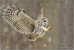 Barred Owl (Earl Reinink) Tags: owl raptor earl reinink earlreinink nature bird naturephotography birdphotography nikon nikond5 ontario canada barredowl ueedzduara
