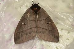 Dirphia sp Help ID (robertoguerra10) Tags: dirphia moth mariposa preta grande black big dark brown nordeste brazil saturniidae