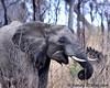 South Africa--Kruger Two 013 (REBlue) Tags: africanelephant bigfive southafrica mpumalangaprovince krugernationalpark