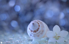 Yearning for love (Trayc99) Tags: love macro beautyinnature beautyinmacro beautiful shell shimmer floralart flower bokeh softness water droplets sparkle pastel serene