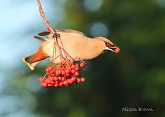 Waxwing (alison brown 35) Tags: waxwing bohemian bombycillagarrulus winter migrant december 2016 wigan uk wildlife wild nature canon 7d sigma ex 500mm lens alison brown 35 photography bird red rowan berries ngc npc