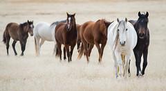 Wild Horses headed to the watering hole (explored) (Jami Bollschweiler Photography) Tags: onaqui wild horse herd horses watering hole west desert utah image photography wildife