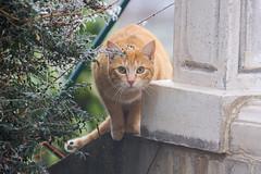 Le visiteur (mehdiapic) Tags: chat cat roux red