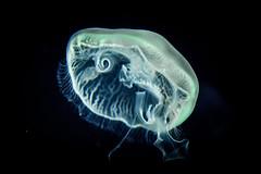 INGRAVIDA (ERREACHE) Tags: aureliaaurita medusa oceanografic valencia valència comunidadvalenciana españa
