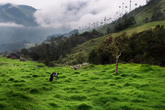 Valley Shoot (creyesk) Tags: valledelcocora colombia quindio palm palmas