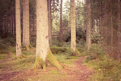 Dunkeld Hermitage 2017-05772 (garypatersondesign) Tags: dunkeld perthshire perth scotland forest trees
