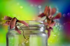 20170202_3844-w (bresciano.carla) Tags: colors pentaxart flickr pentax light flower flowers pentacon m42 oldlens bokeh pentaxk500 pentacon1850mm vintage vintageoptica