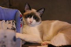 Baby cat (Namastè Mari) Tags: cat gatto pet animal love tender baby cucciolo puppy kiwi piccola gatta chat sofa divano lady siamese animaledomestico animale gattino kitten domestico kiki cucciola