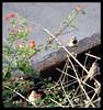 Sparrows in lantana bush (Indianature st2i) Tags: valparai tamilnadu tea teaestate indianature india indiragandhiwildlifesanctuary westernghats anamalaitigerreserve anamalais anamallais anaimallais anamalaiwildlifesanctuary 2016 2017