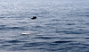 Jumping Dolphin (MelindaChan ^..^) Tags: srilanka 斯里蘭卡 jumping dolphin