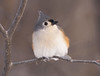 Tufted Titmouse (MLK6615) Tags: tuftedtitmouse bird