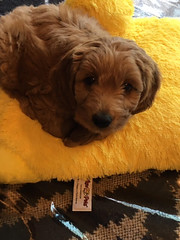 Gabby's Ginger when she went home to her new family!